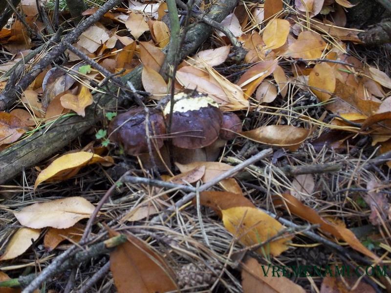 осенние грибы