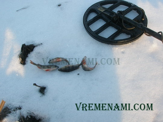 окуньки на льду с металлоискателем
