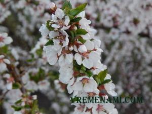 весенний цвет вишни